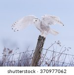 Snowy Owl With Open Wings...