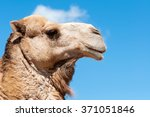 Camel Face With Blue Background