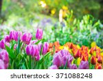 Colorful Tulip Garden In Spring