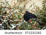 Male Of Common Blackbird ...