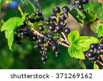 Branch Of Black Currant In The...