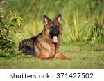 German Shepherd Dog Lying Down