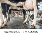 Row Of Cows Being Milked