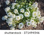 Small photo of white flowers of Lobularia maritima called Alyssum maritimum.