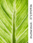 Small photo of Image of aglaonema leaf close up background.
