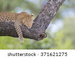 Male Leopard Lying On A Branch