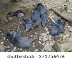 group of collared peccary ... | Shutterstock . vector #371756476