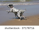 two dalmatians playing on the beach - stock photo