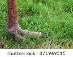 Ostrich Claw Like A Prehistori...