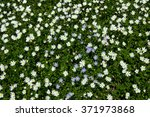 Many White Daisies In Top View...