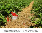 strawberry field with ripening... | Shutterstock . vector #371994046
