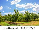 cherry tree orchard | Shutterstock . vector #372015976