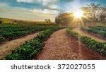 plantation   sundown on the... | Shutterstock . vector #372027055