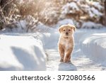 Stock photo black and golden hovawart puppy on the snow 372080566