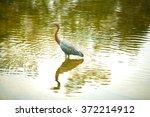goliath heron walking in water... | Shutterstock . vector #372214912