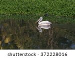 Adult Pelican Reflected In The...