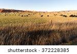 Black Angus Cattle Graze Large...