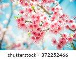 Soft Focus Cherry Blossom Or...