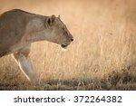 female african lioness ...   Shutterstock . vector #372264382