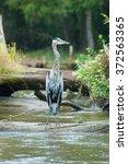 Great Blue Heron In Swamp