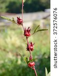 Small photo of Red Roselle in the garden