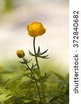 Beautiful Globe Flower   Yello...
