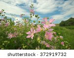 Small photo of plant of flowering wild mallow (Althea officinalis) on a sunny day