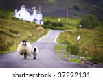 Two Sheep Walking On Street In...