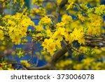 Ochna Integerrima Flower  The...