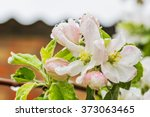 Flowers Of Apple Tree In The...