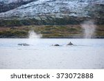 Large Humpback Whales In The...
