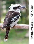 laughing kookaburra bird... | Shutterstock . vector #37315600