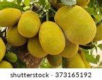 Huge Jack Fruit Gowing In Tree