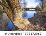 Work Of A Beaver In Forest. A...