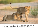 two african lions in riverbed...   Shutterstock . vector #373195816