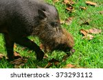 Bornean Bearded Pig  Bako...