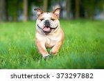 Funny English Bulldog Running...