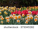 Bed Of Tulips And Narcissus In...