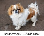 Funny Red Haired Pekingese Dog...