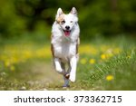 Stock photo purebred icelandic sheepdog outdoors in the nature on grass meadow on a summer day 373362715