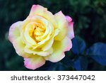 Yellow And Pink Blend Roses ...
