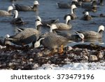 Emperor Geese Wintering