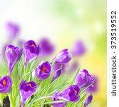 Spring Crocuses Flowers Growin...