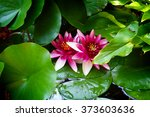 Water Lilies In The Botanical...