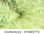 Small photo of The core of Green Acrostichum aureum L. fern