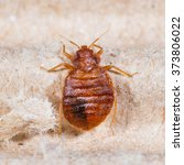 close up adult cimex... | Shutterstock . vector #373806022