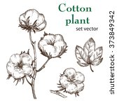 hand drawn cotton plant in... | Shutterstock .eps vector #373849342