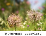 Small photo of Botanical background. Floral background with Pasque flower, (Pulsatilla), Alpine pasqueflower, (Pulsatilla vulgaris ) Ranunculaceae, Ranunculales, Ranun