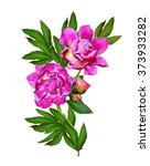 Peony Flowers Isolated On Whit...