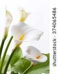 White Calla Lily Flowers In...